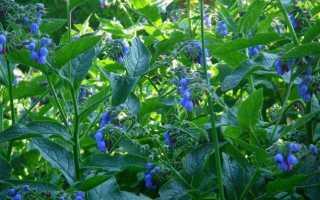 Настойки и мази от суставов на основе травы окопника