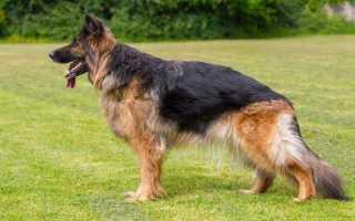Операции при дисплазии тазобедренных суставов у собак