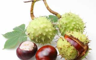 Настойка из плодов каштана для суставов рецепт