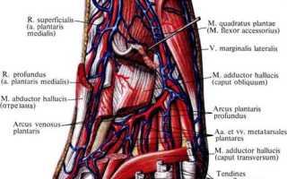 Вены бедра большая подкожная передняя большеберцовая общая глубокая поверхностная